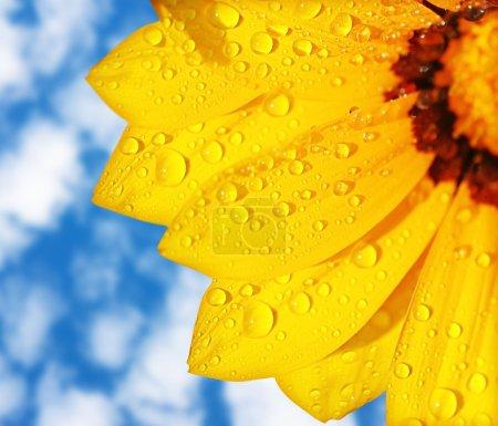 Wet yellow flower background