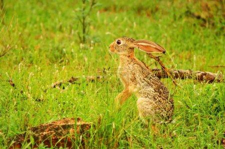 Photo for Wild Hare. Africa. Kenya. Samburu national park. - Royalty Free Image