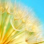 Soft dandelion flowers macro border over sky blue ...