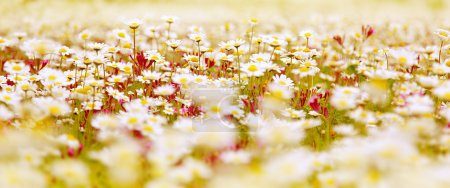 Photo for Spring field of white fresh daisies, natural panoramic landscape - Royalty Free Image