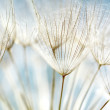 Blue abstract dandelion flower background, extreme...