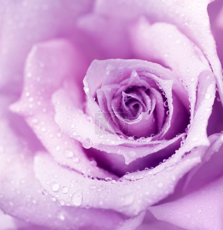 Photo for Abstract purple wet rose background, beautiful macro flower with morning dew - Royalty Free Image
