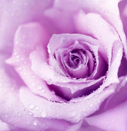 Purple wet rose background