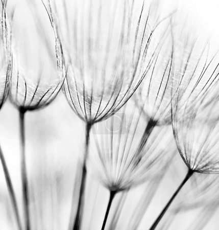 Photo for Black and white abstract dandelion flower background, extreme closeup with soft focus - Royalty Free Image
