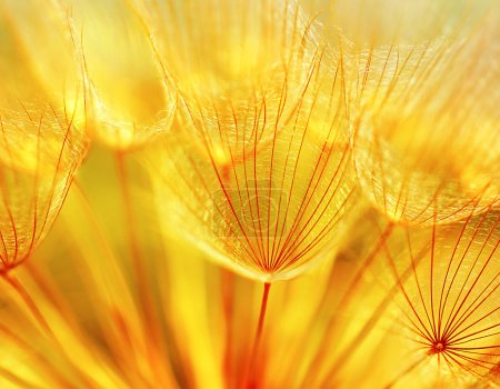 Photo for Abstract dandelion flower background, extreme closeup with soft focus, beautiful nature details - Royalty Free Image