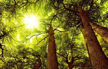 Sunny Cedar forest