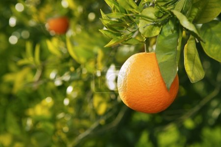 Photo for Orange fruit on tree before harvest in mediterranean Valencia Spain - Royalty Free Image