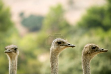 Ostrich portrait outdoor forest green trees