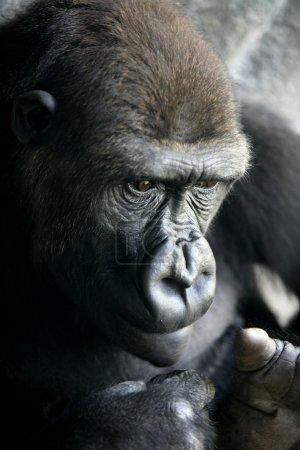 Gorilla ape close up portrait