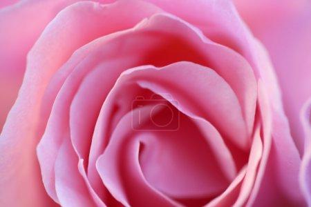 Photo pour Rose rose fleur macro détail de la récolte en lumière douce - image libre de droit