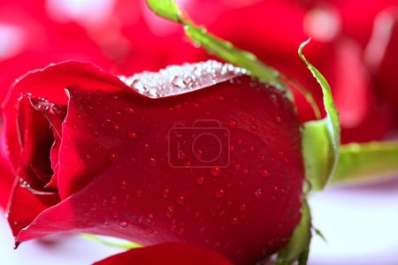 Red rose macro with water droplets