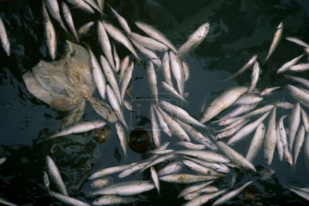 Died fish in polluted sea water, contamination