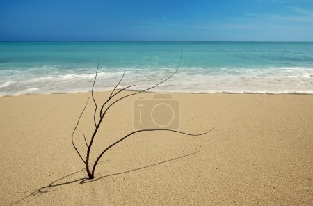 Photo for Black coral branch on caribbean beach shore after hurricane storm - Royalty Free Image