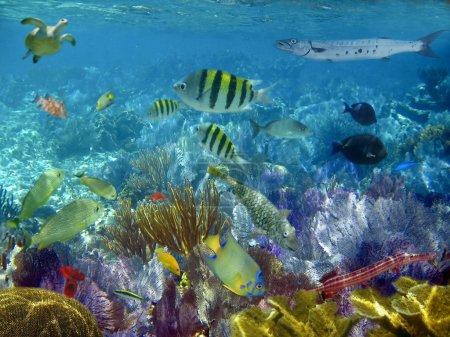 Photo pour Récif caribéen poissons tropicaux vue sous-marine - image libre de droit