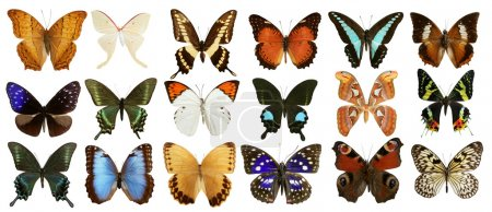 Photo for Butterflies collection varied colorful butterfly rows isolated on white - Royalty Free Image