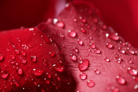 Wet close up macro rose petals, water drops