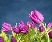 """Постер, картина, фотообои """"тюльпаны розовые цветы на синей истории студии"""""""