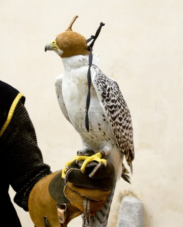 Photo pour Faucon fauconnet rapace oiseau en gant main cagoule en cuir - image libre de droit