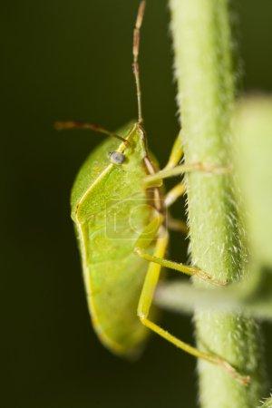 Southern Green Stinkbug (Nezara viridula)