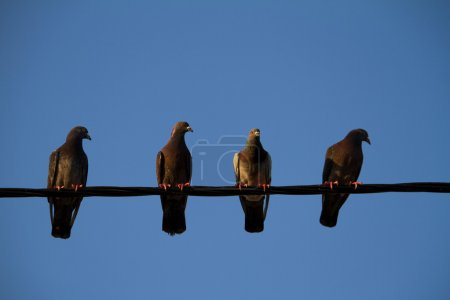 Four pigeons on a wire