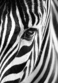 Portréja egy zebra