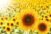 Pole krásné slunečnice s slunečního záření