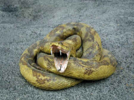 Photo pour Serpent enroulé vers le haut - image libre de droit