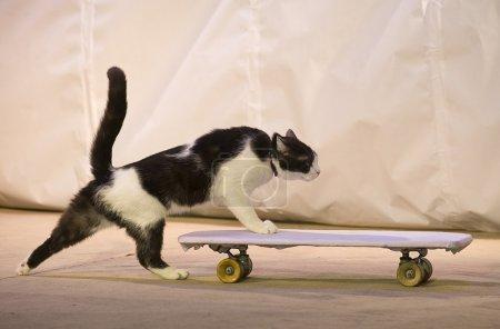 Photo pour Un chat avec une planche à roulettes dans kuklachev théâtre d'yuri chats de Moscou. - image libre de droit