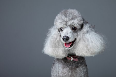 Smiling gray poodle