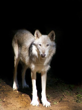 Gray wolf in the dark