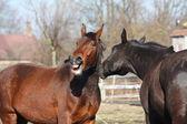 Ržání hnědé koně a černý kůň stojící blízko sebe
