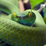 Eye of Green snake...