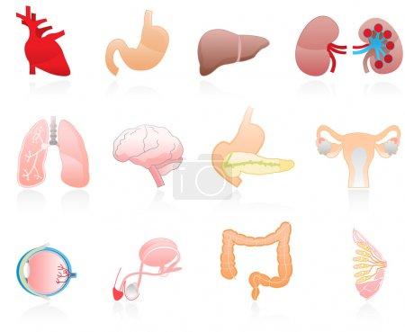 Color human organs