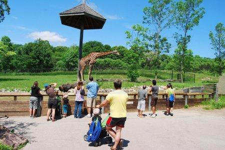 Giraffe in Toronto