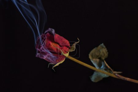 Photo pour Fumer Rose Rouge. Un symbole d'un amour brûlant, ou qui a brûlé . - image libre de droit