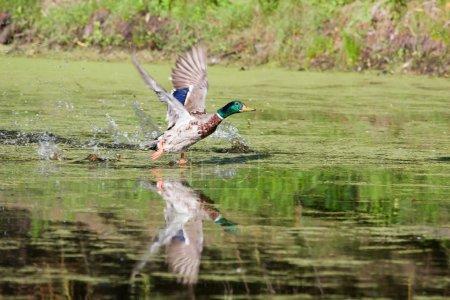 Mallard taking off