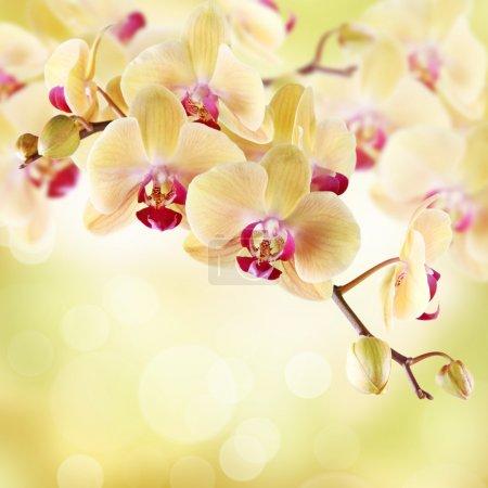Foto de Orquidea amarilla sobre un fondo claro - Imagen libre de derechos