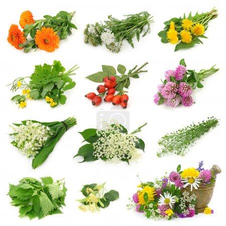 Foto de Colección de hierbas medicinales frescas aisladas sobre fondo blanco - Imagen libre de derechos