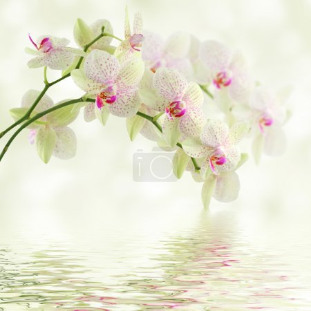 Photo pour Orchidée blanche sur fond clair - image libre de droit