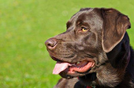Profile portrait of a chocolate labrador retriever dog