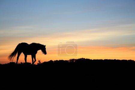 Photo pour Chevaux sur un terrain en été à la campagne au Danemark, silhouette au coucher du soleil - image libre de droit