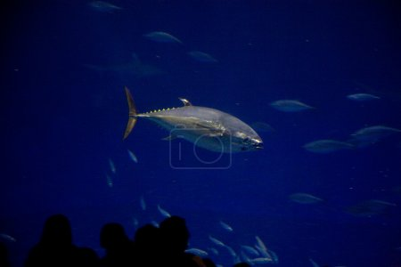Fishes, sharks, tunas, in the seawater aquarium