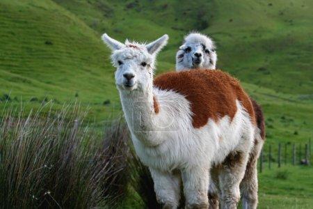 Foto de Una alpaca se asoma sobre otra, en un exuberante prado verde - Imagen libre de derechos