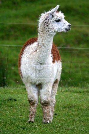 Foto de Vista frontal de un bronceado y alpaca blanca de pie en un campo verde exuberante . - Imagen libre de derechos