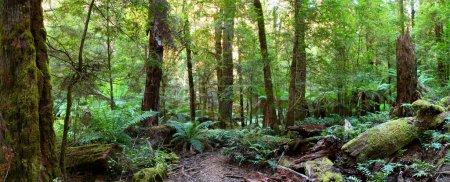Photo pour Panorama d'un chemin à travers une forêt pluviale tempérée australien, avec treeferns luxuriante, journaux moussus et les hêtres myrtle. - image libre de droit