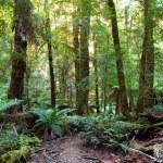 Panorama of a path through an Australian temperate...