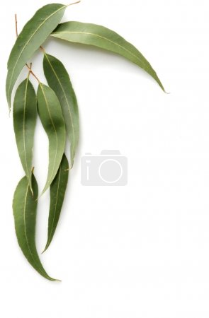 Photo pour Feuilles de gommier forment une bordure sur un fond blanc . - image libre de droit