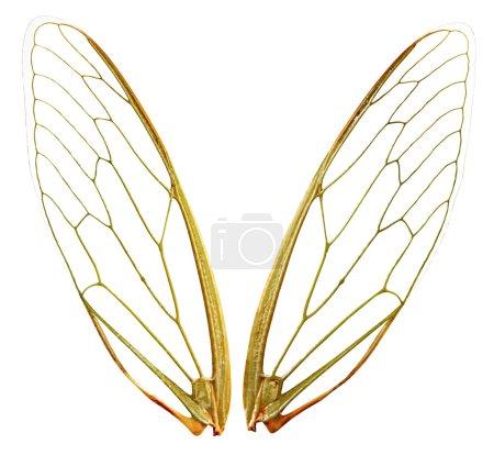 Photo pour Une paire d'ailes de cigale, avec un tracé de détourage. parfait pour n'importe quelle conception où vous avez besoin d'ailes gossamer fée. chaque aile photographié individuellement. - image libre de droit