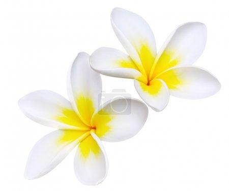 Photo pour Glorieuses fleurs de frangipani ou plumeria, avec chemin de coupe . - image libre de droit