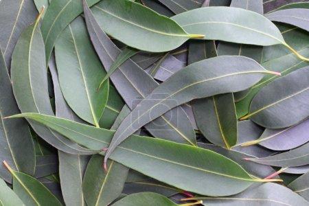 Photo pour Les feuilles de gomme forment un fond naturel plein cadre. Les subtiles tons gris-vert du buisson australien . - image libre de droit